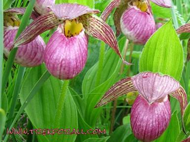 Ladies Slipper orchid found in valley of flowers