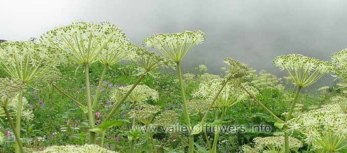 Angelica Archangelica in Valley of Flower