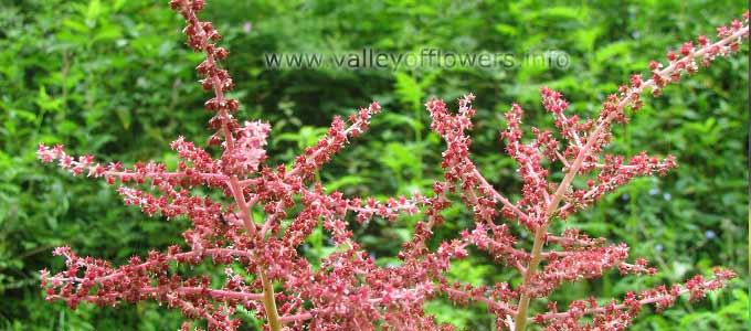 Aruncus Dioicus in Valley of Flowers