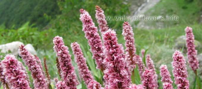 Bistorta affinis in Valley of Flowers