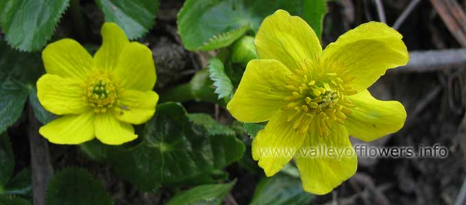 Caltha-palustris in Valley of Flowers