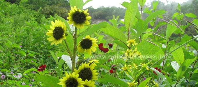 Cremanthodium Arnicoides in Valley of Flowers