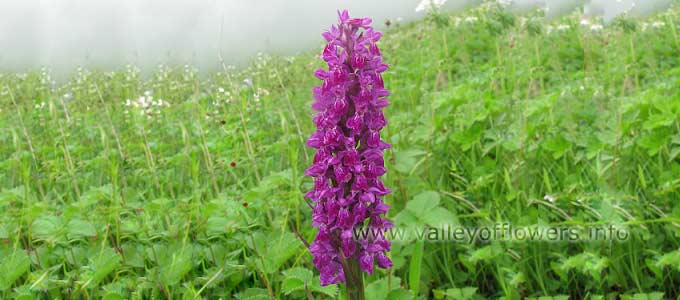 Dactylorhiza Hatagirea in Valley of Flowers