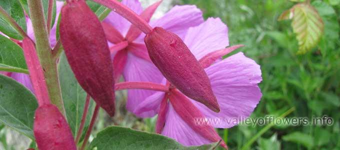 Epilobium Latifolium in Valley of Flowers