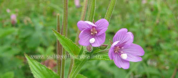Epilobium Laxum in Valley of Flowers