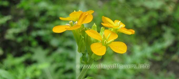 Erysimum Hieraciifolium in Valley of Flowers