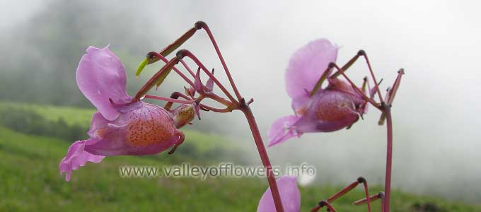 Impatiens Sulcata in Valley of Flowers