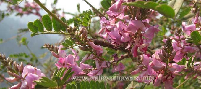 Indigofera heterantha in Valley of Flowers