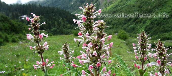 Morina Longifolia in Valley of Flowers