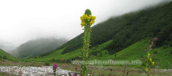 Pedicularis Bicornuta in Valley of Flowers