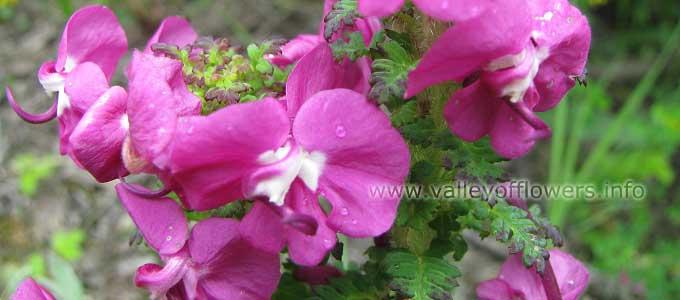 Pedicularis Punctata in Valley of Flowers`