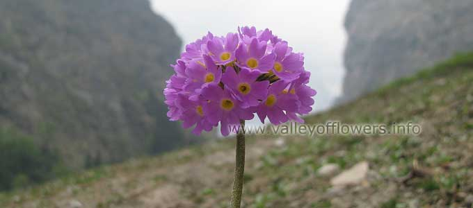 Primula-denticulata in Valley of Flowers