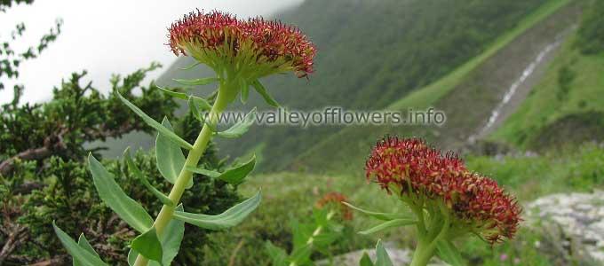 Rhodiola Heterodonta in Valley of Flowers