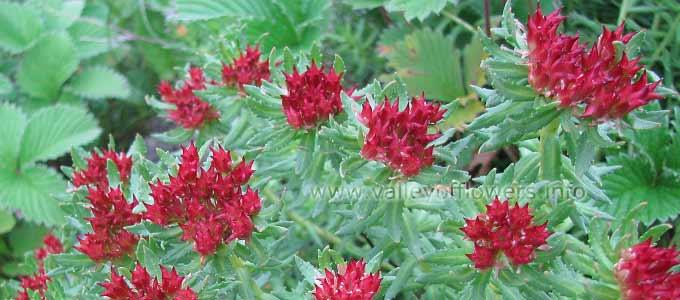 Rhodiola Wallichiana in Valley of Flowers