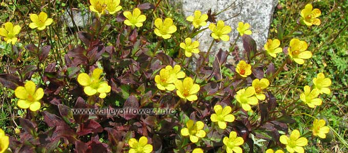 Saxifraga-parnassifolia in Valley of Flowers