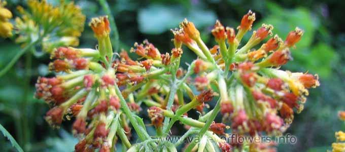 Senecio Graciliflorus in Valley of Flowers