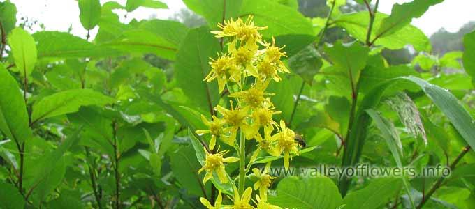 Solidago Virgaurea in Valley of Flowers