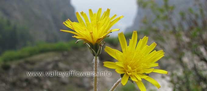 Taraxacum-officinale in Valley of Flowers