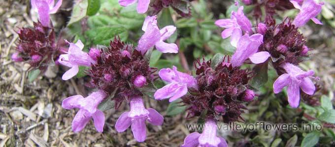 Thymus-linearis in Valley of Flowers
