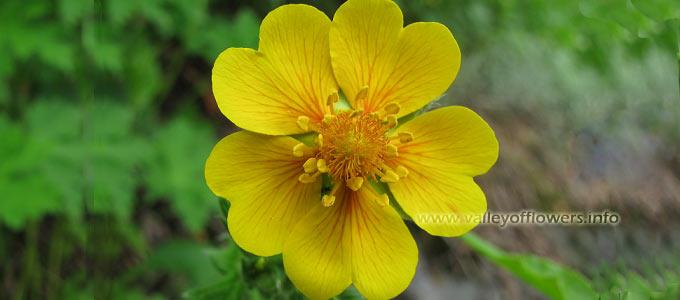 Vajardanti, Potentilla agyrophylla , Himalayan Cinquefoil in Valley of Flowers