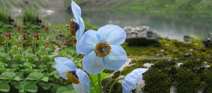 blue-poppy in Valley of Flowers hemkund shahib