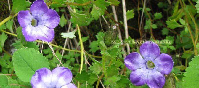 cyananthus-lobatus,Trailing Bellflower. in Valley of Flowers