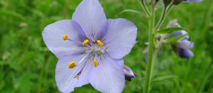 Polemonium Caeruleum in Valley of Flowers