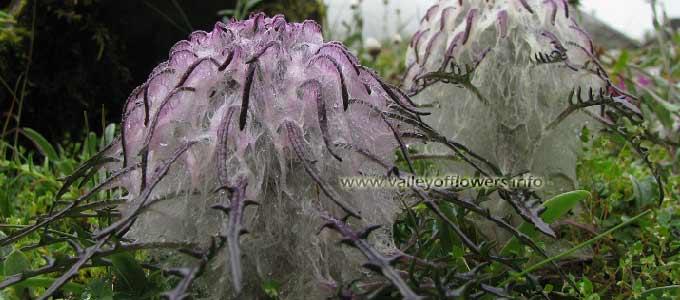 saussurea-simpsoniana, Yogeshwar in Valley of Flowers.