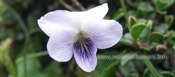 viola-pilosa