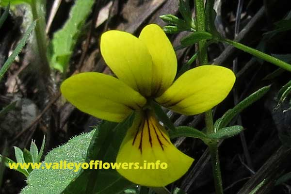 Viola biflora, a beautiful but very small flower found in Valley of Flowers.
