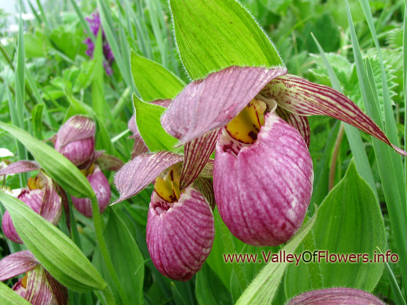Ladies slipper Orchid in Valley of Flowers, it is very rare and beautiful flower.