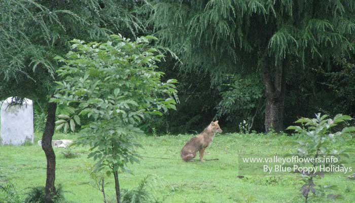 A fox near our tents at Deoria Tal.