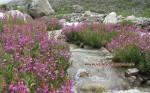 Epilobium Latifolium deep inside the Valley of Flowers.