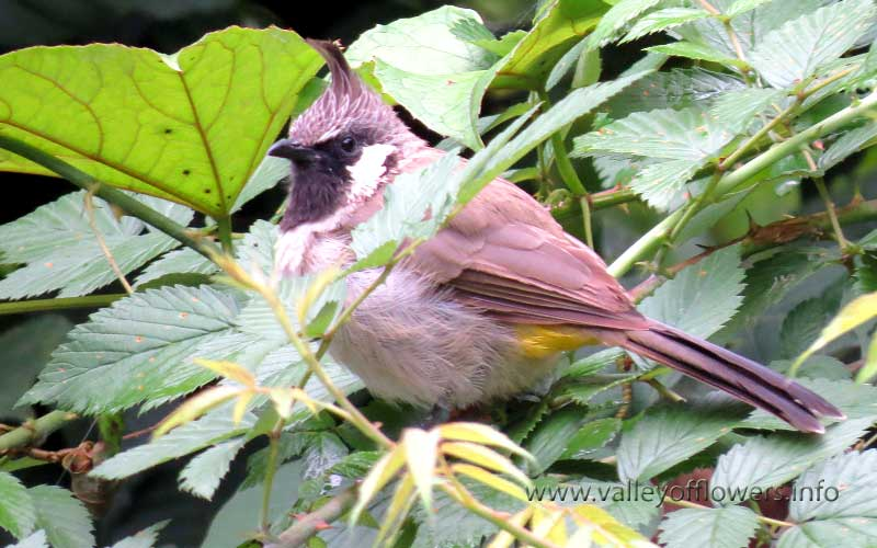 A beautiful Bulbul at Joshimath