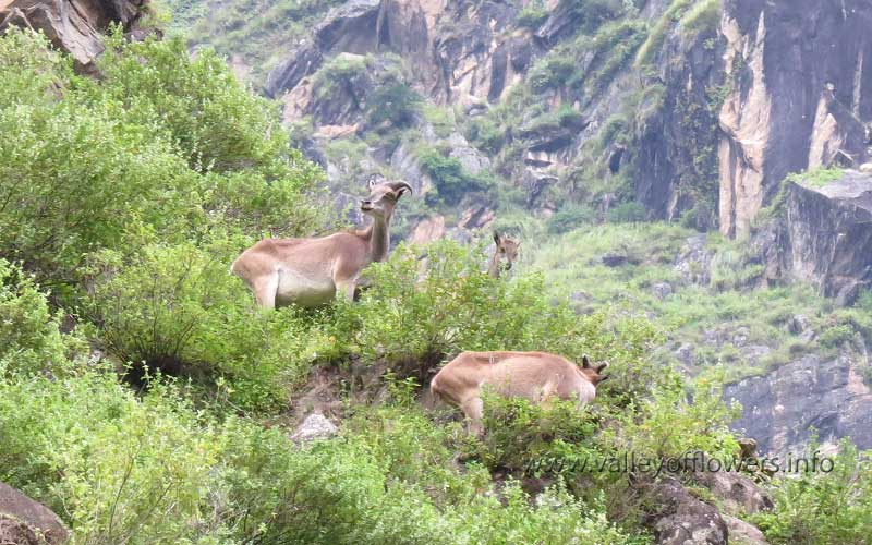 Deer near Vishnuprayag at Hathi Parvat.