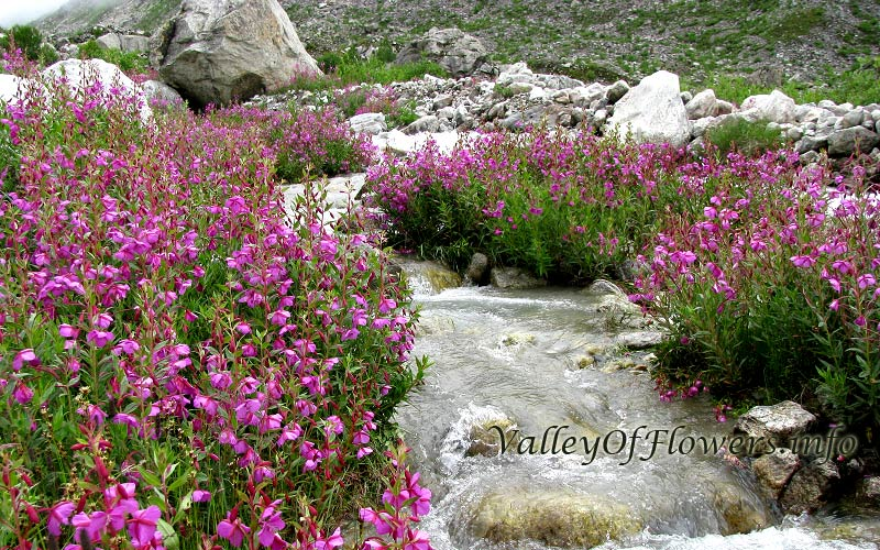 Epilobium Latifolium in deeper parts of Valley of Flowers