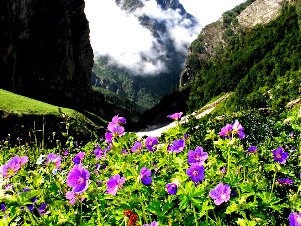 Geranium flowers in Valley of Flowers