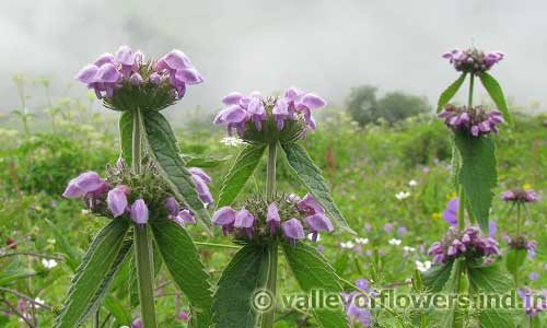 Phlomis Bracteosa inside Valley of Flowers