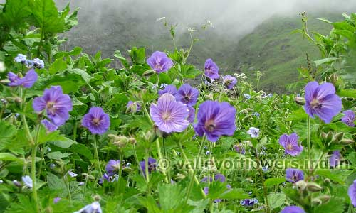 geraniums in the Valley of Flowers