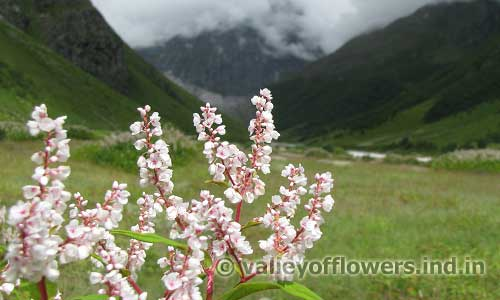 himalayan knotweed in Valley of Flowers august