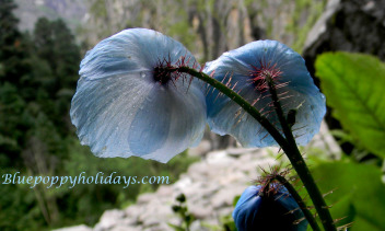 Blue poppy queen of himalayan flowers by blue poppy holidays blue poppy on the way to valley of flowers mightylinksfo