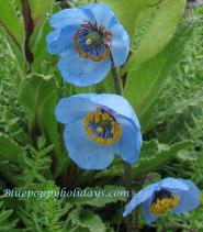 Blue poppy queen of himalayan flowers by blue poppy holidays blue poppy with braham kamal flower near hemkund sahib mightylinksfo
