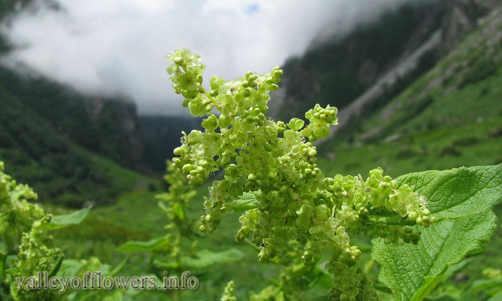 Aconogonum rumicifolium