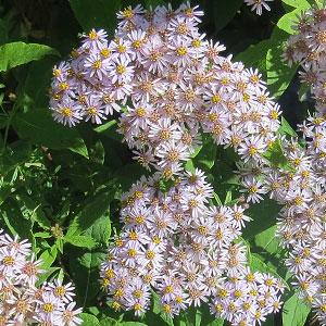 Aster albescens