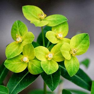 Euphorbia pilosa