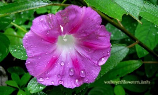 Ipomoea purpurea in valley of flowers for Ipomea purpurea