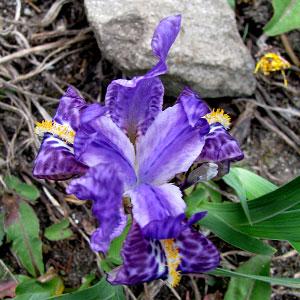 Iris kaemaonensis