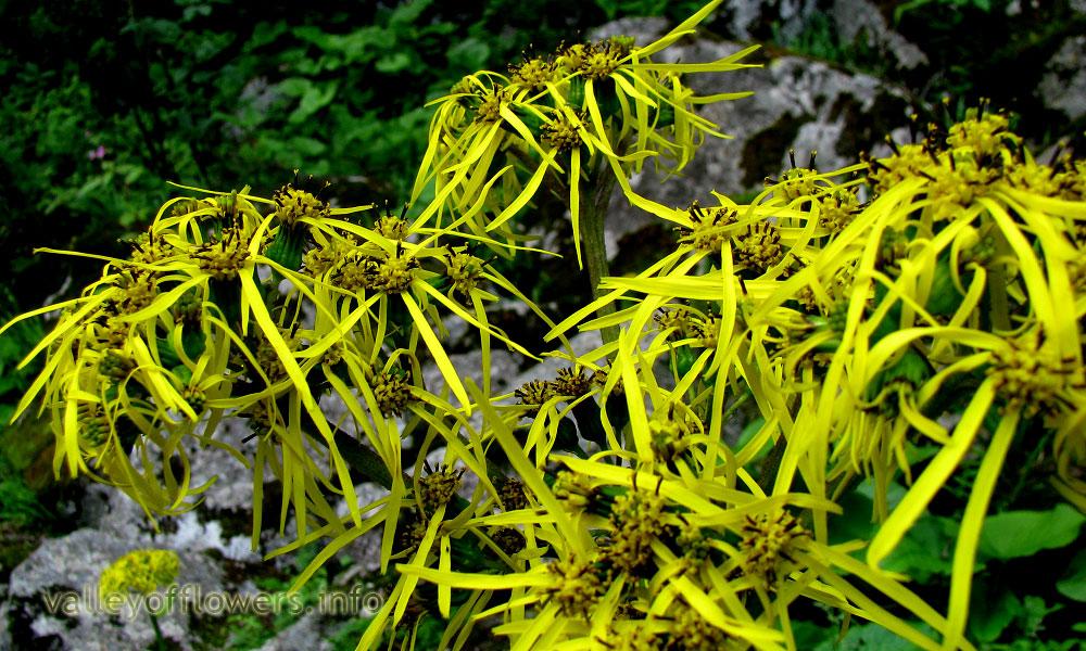 Ligularia amplexicaulis