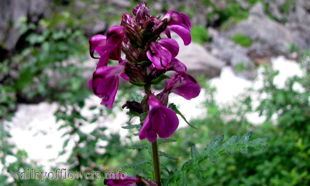 Pedicularis porrecta