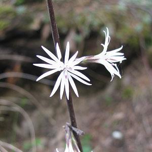 Ainsliaea aptera